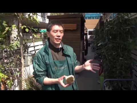 茶色く変色したコケ(苔)を緑色に復活させる方法