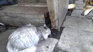 Кошка гоняет собаку. Угар!! Лютый прикол!! Ржачка полная)))