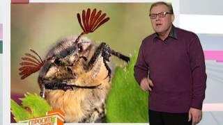 Спросите дядю Вову. Как летает майский жук
