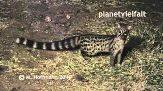preview picture of video 'Kleinfleckginsterkatze Genetta genetta, Genet'