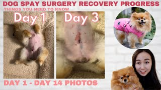 Dog Spay Recovery Progress day by day & Helpful Tips