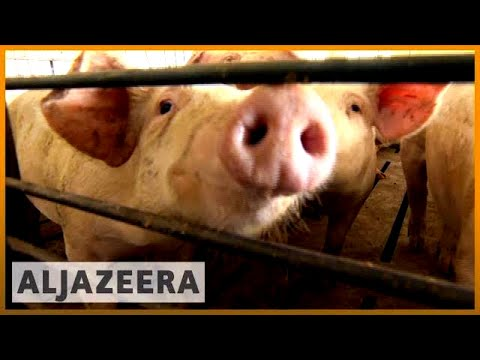 🇨🇳 China's planned tariffs trigger 🇺🇸 US pork farm crisis | Al Jazeera English