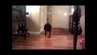 Dog Barking at Doorbell Sound Effect