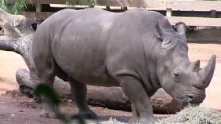 Southern White Rhinoceros Keeper Talk | Perth Zoo