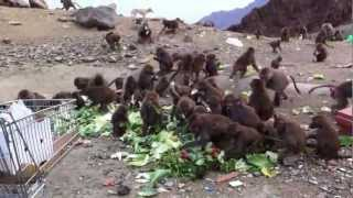 preview picture of video 'Hundreds of monkeys having a feast from AlRaya Supermarket. @Al Baha'
