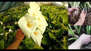 How to Grow and care for Calla Lily / 10 years of experience