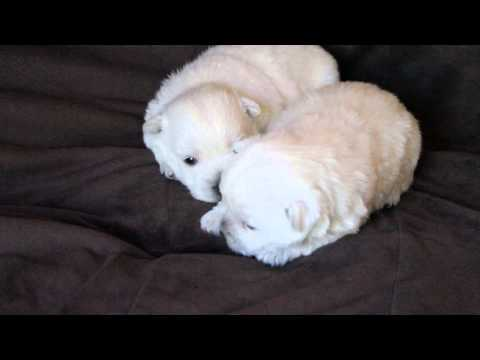 Peppy - cute AKC westie male puppy