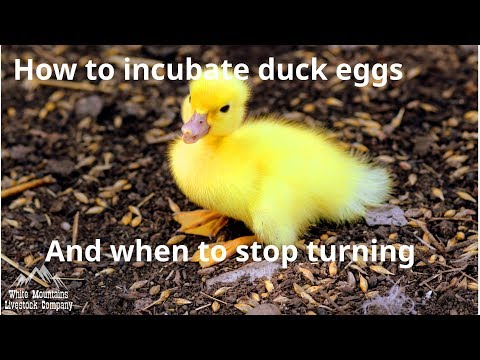 , title : 'Incubating duck eggs and when to stop turning