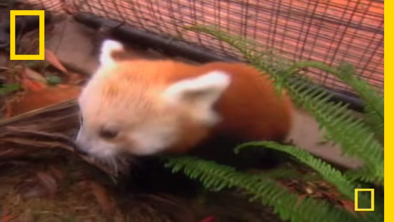 Cute Baby Panda | National Geographic thumbnail