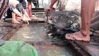 Cách Duy Nhất Bẫy Bắt Hơn 1000 Kg Cá Dưới Sông ở Miền Tây tập 2 l Đi Bụi Sông Nước Miền Tây Phần 7