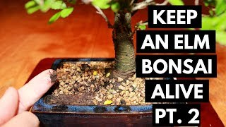 Chinese Elm Bonsai Care: Watering (Part 2)