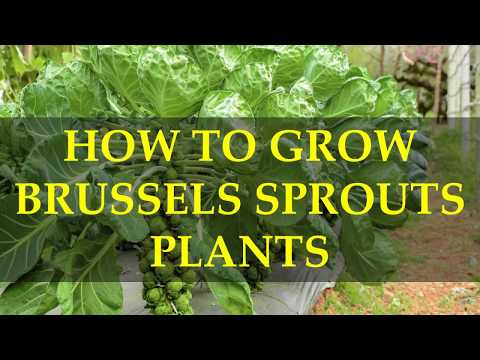HOW TO GROW BRUSSELS SPROUTS PLANTS