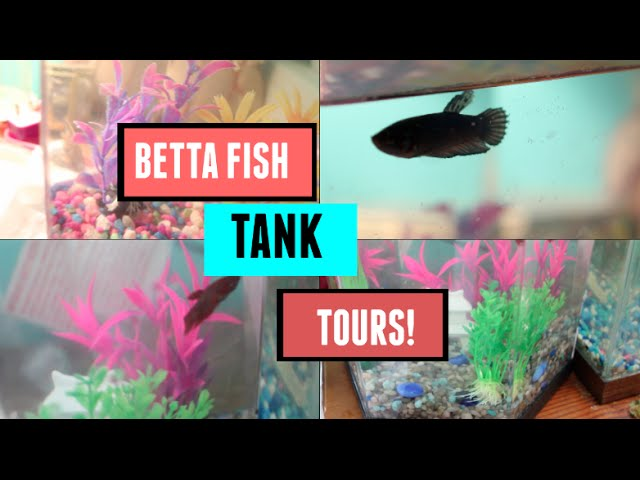 Betta Fish Tank Tours!