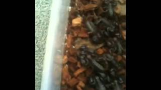 Black rock scorpions for sale