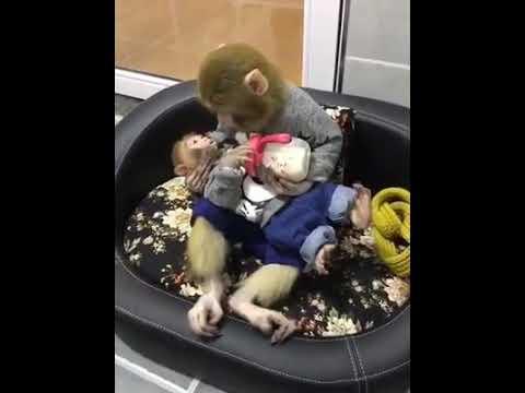 Обезьянка кормит своего малыша из бутылочки