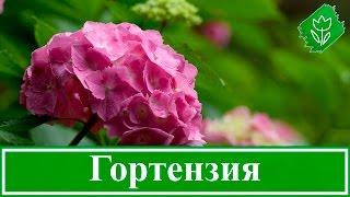 Посадка и уход за гортензией, выращивание садовой гортензии