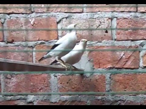 Video peternakan penangkaran burung jalak putih & murai