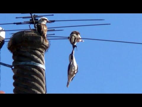בין שמים וארץ: שתי ציפורים נלחמות על לטאה אחת