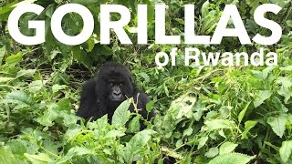 preview picture of video 'Mountain Gorillas of Rwanda | Volcanoes National Park'