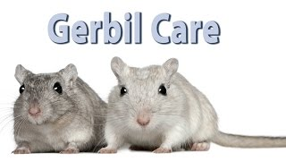 Gerbil Care - Requested