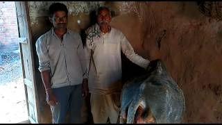 Treating cows in village Terha bundelkhand part7