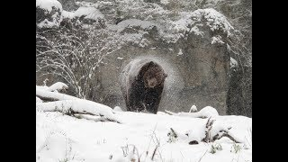 Terror   -   Grizzly Cub At 6 FEET   !!!!