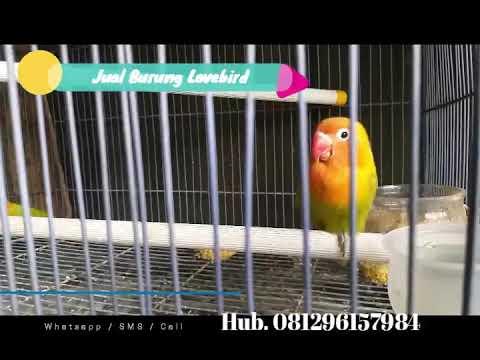mp4 Lovebird Violet Sepasang, download Lovebird Violet Sepasang video klip Lovebird Violet Sepasang