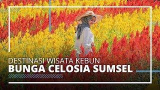 VIDEO TRAVEL | Wisata Alam Kebun Bunga Celosia, Tempat Instagramable di Sumatera Selatan