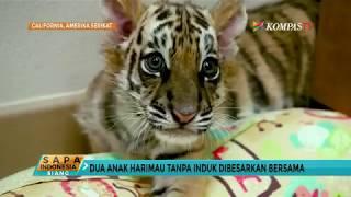 Beda Induk, 2 Harimau Ini Tumbuh Bersama dan Akrab