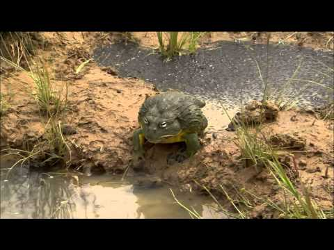 An African Bullfrog digs a channel between two bodies of water so his offspring don't dry out