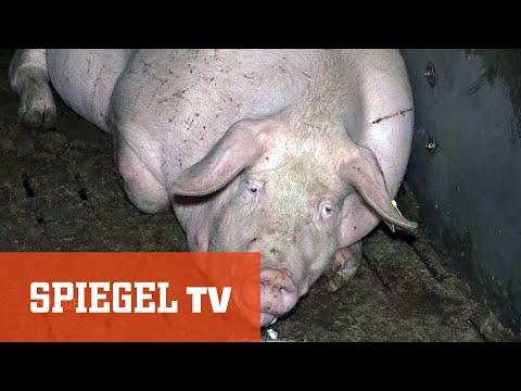 , title : 'Arme Sau -  Schweine für den Discounter