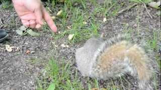 preview picture of video 'Squirrel at Parc du Mont Royal, Montréal, QC, Canada'