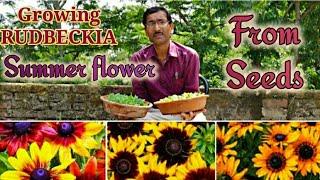 Grow RUDBECKIA The Amazing SUMMER Flower Plants