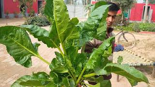 Biggest Spinach Video