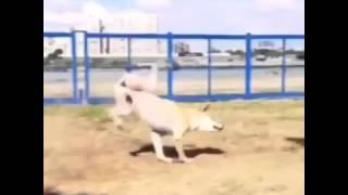 Собака -паркурист