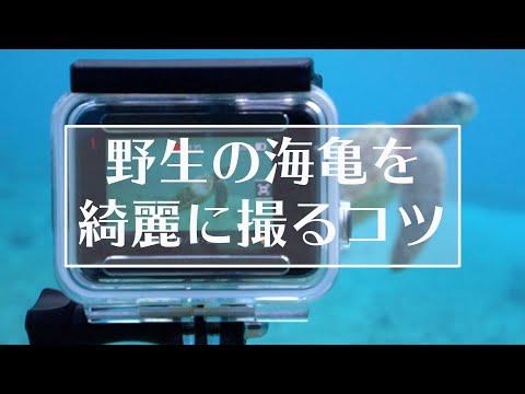 野生の海ガメを綺麗に撮影するコツ