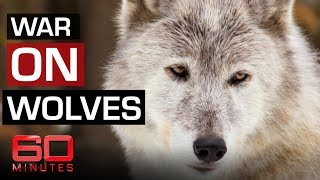 The fight to save Yellowstone wolves | 60 Minutes Australia