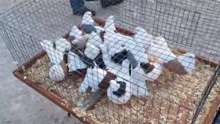 Весенняя съездная ярмарка голубей на Птичьем рынке 24-25 февраля 2018 года г.Москва