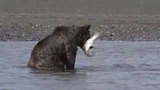 Brown Bears Catching Salmon and Fighting