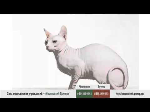 Аллергическая реакция на лысых кошек