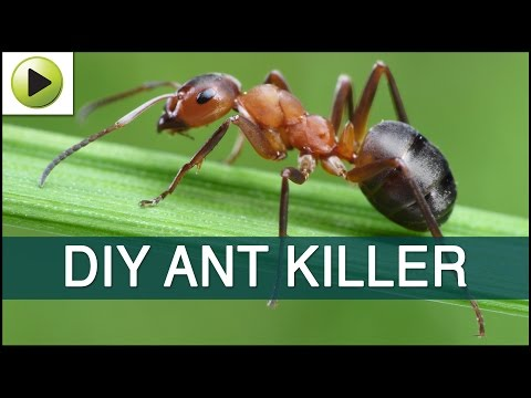 Video Homemade Ant Killer