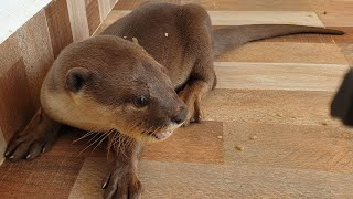 Otter sivly try to open the door