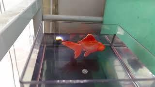 光能金魚實拍