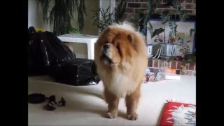 Chow chow barking at a flying balloon