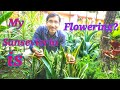 SANSEVIERIA FLOWERS Snake plant flowers Some Updates on Roses Hibiscus Geranium and Hollyhocks