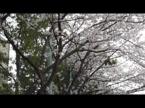 港南台ちどり団地と第三小の桜