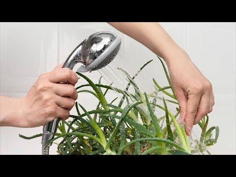 Зачем комнатным растениям горячий душ? Полезно или вредно купать растения в теплой воде?