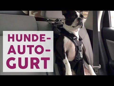 Sicherheit im Auto: Anschnallgurt für Hunde