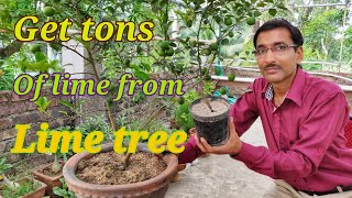 How to get Tons of  🍋limes from your lime 🌲 Tree.