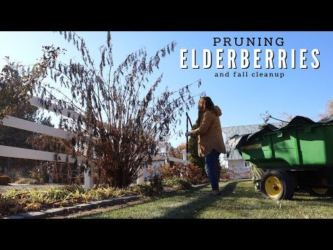 Pruning My Elderberries & A Little Fall Cleanup! ✂️🍂😊// Garden Answer